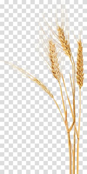 gandum coklat, Dog Emmer Durum Einkorn wheat Triticale, gandum png