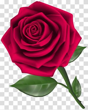 ilustrasi bunga mawar merah, Mawar, Steam Rose png