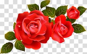 Bunga Mawar, Elemen Mawar Merah Besar, mawar merah dengan daun png