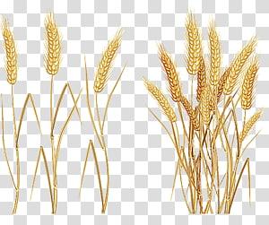 ilustrasi gandum, Sereal gandum biasa. Telinga, gandum png