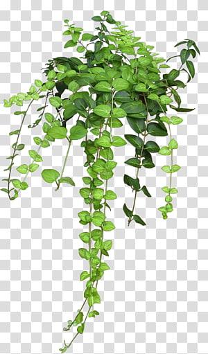 tanaman berdaun hijau, tanaman Vine Rose Flower, semak-semak png