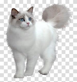 Kucing Persia Minuet kucing Maine Coon Munchkin kucing Kitten, Cute White Kitten, kucing putih berambut panjang PNG clipart