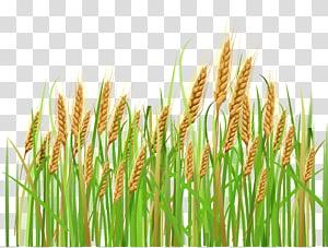 Sereal Gandum Ear Barley, Ears of Wheat, ilustrasi butiran beras hijau png