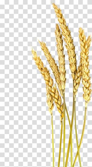 brown wheat art, Einkorn wheat Barley Cereal Oat Foxtail millet, Gandum png