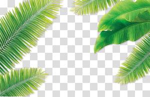 Daun Kelapa Arecaceae, daun Kelapa, ilustrasi daun kelapa hijau png