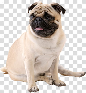 pug rusa dewasa, Desktop televisi definisi tinggi Pug Puppy, pesek png