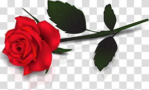 Mawar, Mawar Merah Indah, mawar merah png