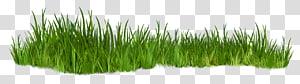rumput belukar, menanam png