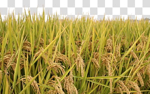 gandum hijau, Sawah, padi png
