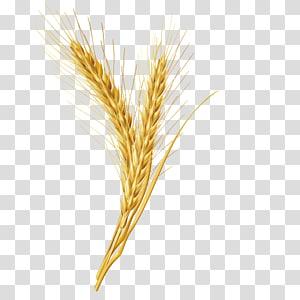 ilustrasi tanaman gandum, Emmer Cereal Grain, butir gandum png