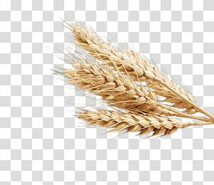 gandum merah, gandum biasa Ear Food Wheatgrass, barley png