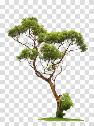 Pohon, Pohon, pohon berdaun hijau png