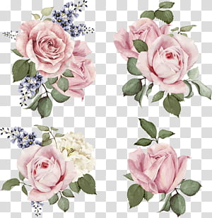 Ilustrasi mawar Ilustrasi Bunga, mawar yang dilukis dengan tangan, empat klaster mawar merah muda png