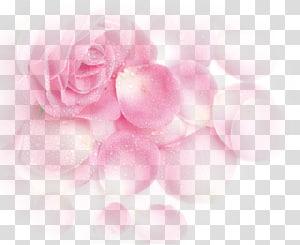 mawar merah muda, mawar Taman Beach rose Pink Petal, Pink Dream Rose Flower Petals png