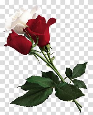 Mawar Putih Bunga York Merah Mawar Putih York, Mawar Putih dan Merah, mawar merah dan putih png