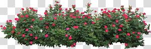 Semak Bunga Mawar, Semak, mawar merah di samping daun hijau png