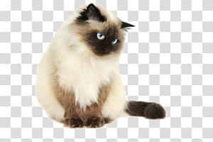 kucing krem, kucing Himalaya, kucing siam, kucing Persia, Kucing Sphynx, kucing keren PNG clipart