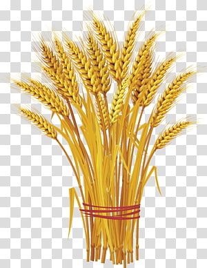 ilustrasi biji-bijian coklat gandum, Seperti Serumpun Alang-Alang: Mengapa Persatuan dan Jaminan Saling Adakan Adalah Panggilan Hari Ini untuk Gandum, Gandum png