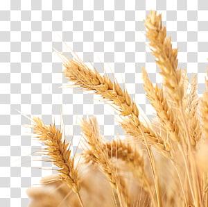 Panen Gandum, gandum, fokus selektif gandum png