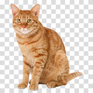 kucing kucing oranye, kucing Kucing kucing Kucing Domestik Kucing berambut pendek, kucing Kuning png