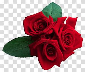 mawar merah, Mawar, Mawar Merah png