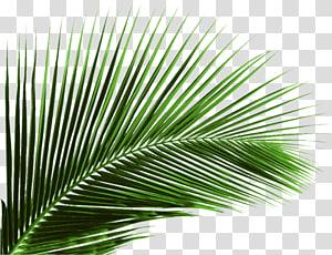 ilustrasi tanaman berdaun hijau, Arecaceae Leaf Plant Areca, Kelapa, daun kelapa png