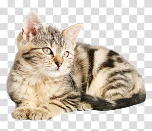 ilustrasi kucing kucing abu-abu, Kucing kucing kucing Kucing Nama-nama kucing populer, Kucing PNG clipart