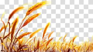 Emas Gandum, Gandum, pemandangan gandum png