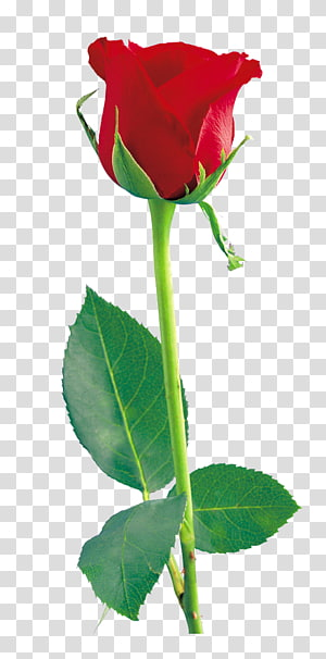 Ikon Mawar, Mawar Merah, karya seni mawar merah png