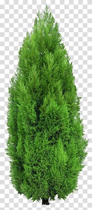 Pohon Mediterania cemara Hedge, Cypress Tree, pohon cemara hijau png