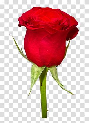 Buket Bunga Mawar, Bunga Mawar, mawar merah png