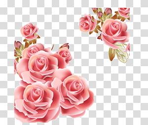 Bunga Mawar Merah Muda, Latar Belakang Mawar, bunga mawar merah muda png