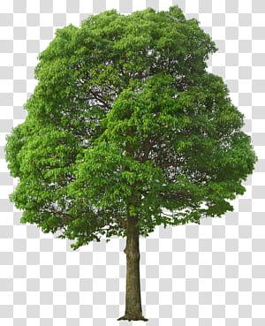 Pohon, Pohon Hijau Besar, ilustrasi pohon hijau png