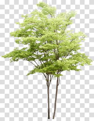 Populus nigra Pohon Lukisan cat air Arsitektur lansekap, pola pohon, ilustrasi pohon berdaun hijau PNG clipart