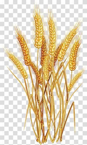 Ilustrasi Euclidean gandum, gandum emas, gandum merah png