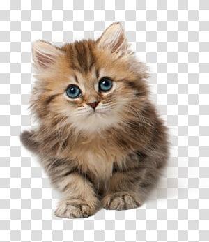 Cat Kitten Kelucuan, Kucing, kucing kucing coklat PNG clipart