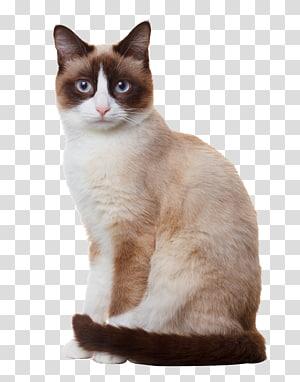 kucing siam putih dan coklat, kucing Snowshoe Birman siam kucing Berkembang biak, kucing siam duduk png