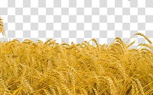 ilustrasi ladang gandum, Tanaman gandum, sereal televisi definisi tinggi, ladang gandum png