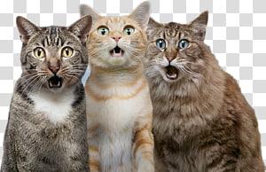 Kucing Anjing Peliharaan, Kucing Terkejut, ilustrasi tiga kucing png