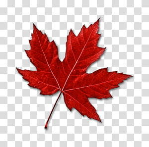 daun maple merah, Kanada daun Maple, daun maple merah PNG clipart