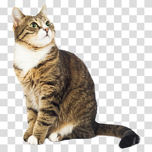 kucing kucing coklat, Kedokteran Gigi Kucing Anjing Kucing, Kucing png