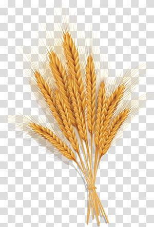 biji-bijian gandum, Emmer Spelt Common wheat, Golden wheat png