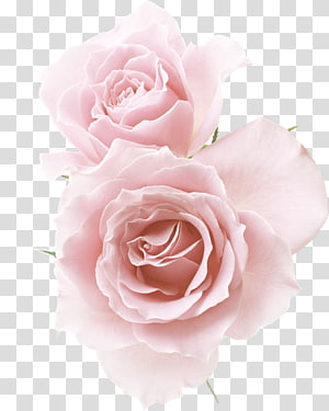 ilustrasi dua mawar merah muda, Rose Pink Flower, Champagne red flower png