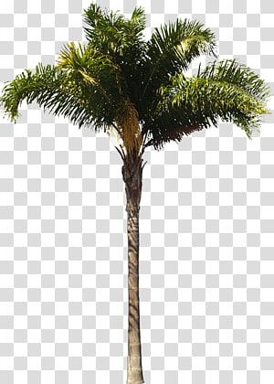 Arecaceae Queen palm Arsitek Woody menanam Pohon, pohon palem png