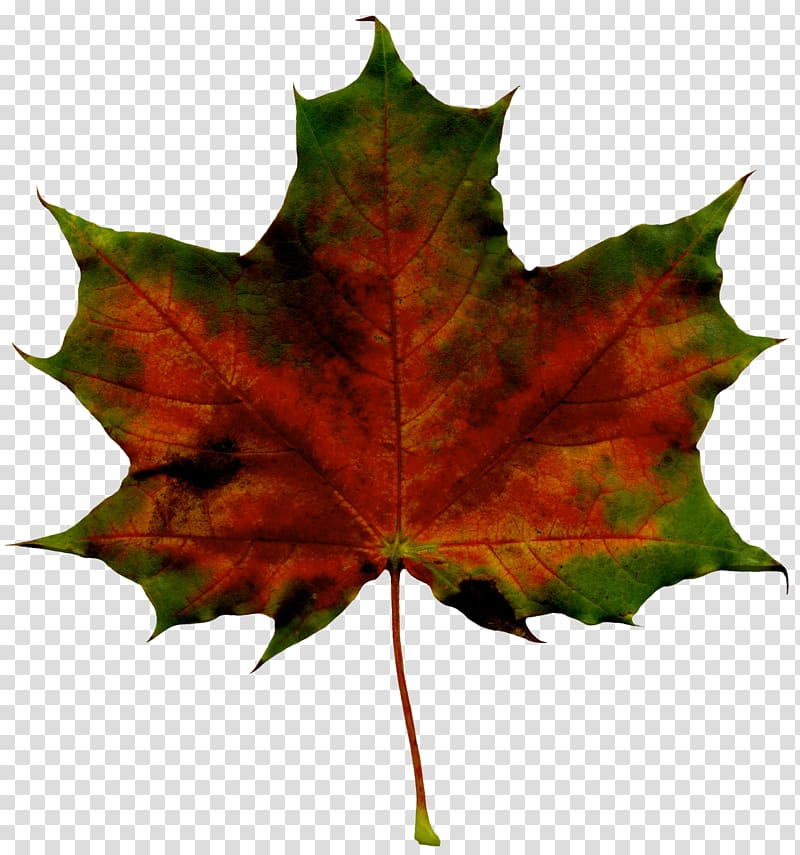 daun maple coklat dan hijau, Mickey Mouse Autumn, Red Fall Leaf PNG clipart