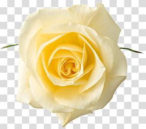 mawar kuning, mawar kuning png