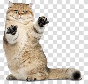 kucing coklat, Memelihara Kucing Anjing Kucing Tikus, kucing png