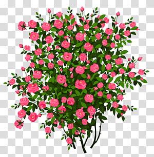 ilustrasi bunga petaled merah muda, Rose Semak Bunga, Pink Rose Bush png