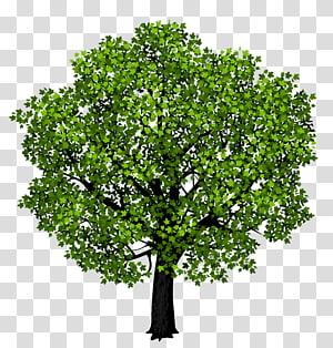 pohon berdaun hijau, maple merah daun maple Klinik Gigi Senyum Pasifik, Pohon Maple Hijau PNG clipart