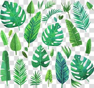 Lukisan cat air Daun, tanaman konifera hijau Cat Air, berbagai macam ilustrasi daun PNG clipart